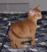 Абиссинская кошка.