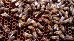 Пчелы. Под заказ