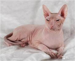 Куплю или возьму котёнка сфинкса