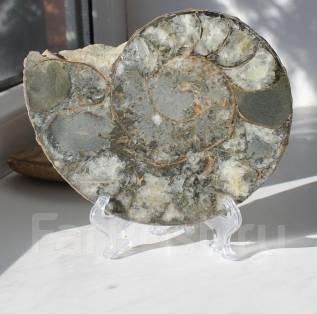 Древний окаменелый моллюск Аммонит. Оригинал