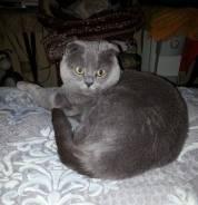 Шотландский котик ждет знакомства с кошечкой