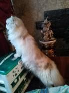 Британская длинношерстная кошка.