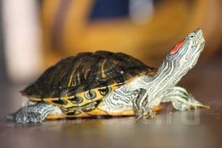 Красноухая черепаха. Полуводная. Под заказ
