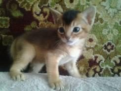 Продам котенка абесинец (девочка)