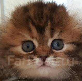 Шотландская вислоухая длинношерстная кошка. Под заказ