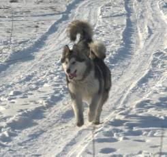 Аляскинский маламут. Под заказ