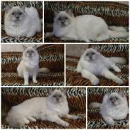 Кошка-чемпион породы Ragdoll (кошка-кукла).