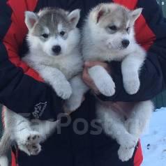 Сибирский хаски.