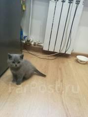 Продам британского котенка