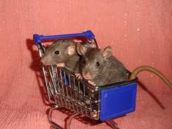 Крысы. Под заказ