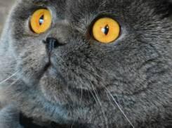 Кот шотландской скоттиш-фолд. Вязка