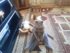 Вязка. Великолепный шотландский кот (Скоттиш - фолд) ищет подружку.