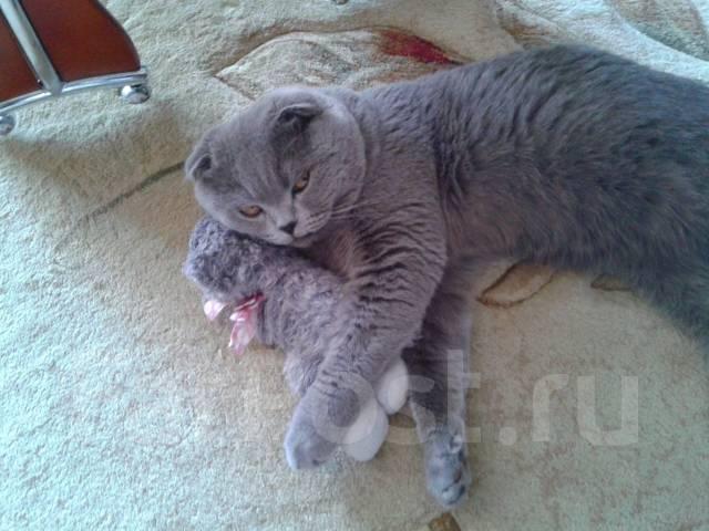 фото кот скоттиш фолд