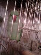 Попугаи Ожереловые. Под заказ