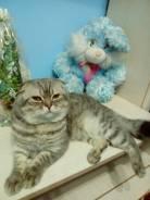 Шотландская вислоухая короткошерстная кошка. Под заказ