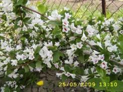 Вейгела ранняя белоцветковая