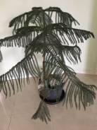 Араукария, комнатная ель