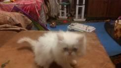 Гималайская кошка.