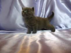 Шотландская прямоухая кошка.