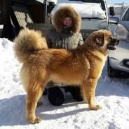 Бурят-монгольский волкодав. Под заказ