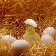 Продаём Цыплят, индюшат, утят, гусят, цесарят. Под заказ