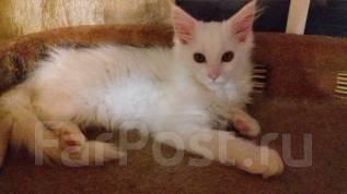 Продаётся котенок Мейн-кун