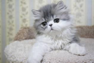 Персидская кошка. Под заказ