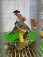 Попугаи Амадины.