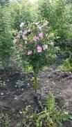 Роза неколючая