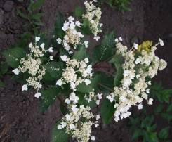 Гортензия камчатская