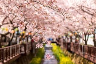 Южная Корея. Сеул. Экскурсионный тур. Фестиваль цветения вишни