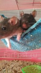 Крысы.