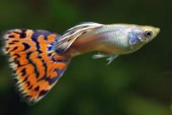 Рыбки Гуппи самцы