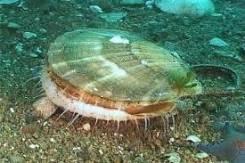 Морской гребешок.