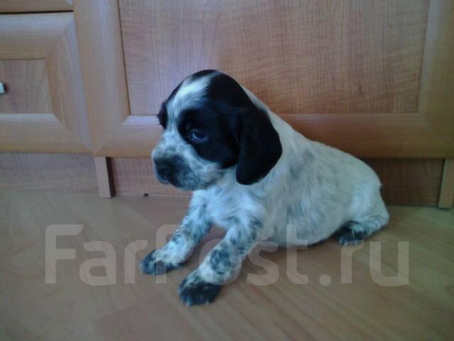 Продажа собак русских спаниэль в благовещенске