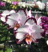 Орхидея. Под заказ
