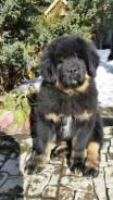 Тибетский мастиф.