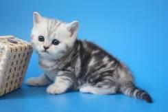 Мраморный котенок