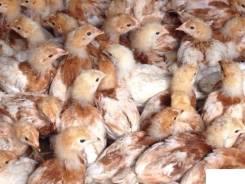 Цыплята - куры, бройлеры, утята, гусята, перепелята в Уссурийске. Под заказ
