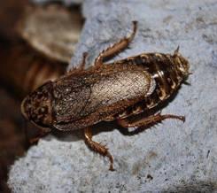 Мраморный таракан.