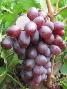 Виноград. Под заказ