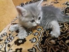 Продаётся чудесный клубный котёнок от породистых родителей.