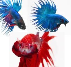 Бойцовая рыбка.