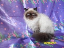 Персидская кошка.