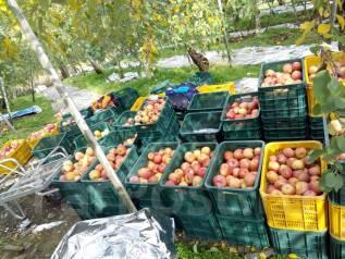 Рабочий. Сбор груш и яблок в Южной Корее. И.П.Им