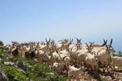 Дойные козы, козлята