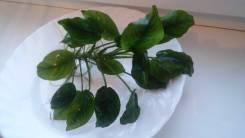 Растение искусственное Анубиас Хастифолия.
