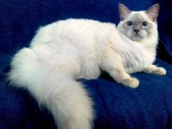 Кошка породы Ragdoll (Тряпичная кукла).