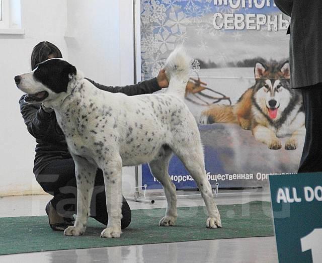 Среднеазиатская овчарка.