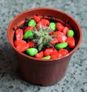 Малыш кактусиш -маммиллярия+горшочек+декор. с1р